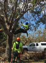Emergency Tree Removal Bulimba